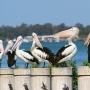 Brisbane-Pelicans-at-Bretts-Wharf-Queensland-Australia