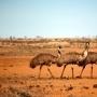 Australia-wild-life-emu-outback